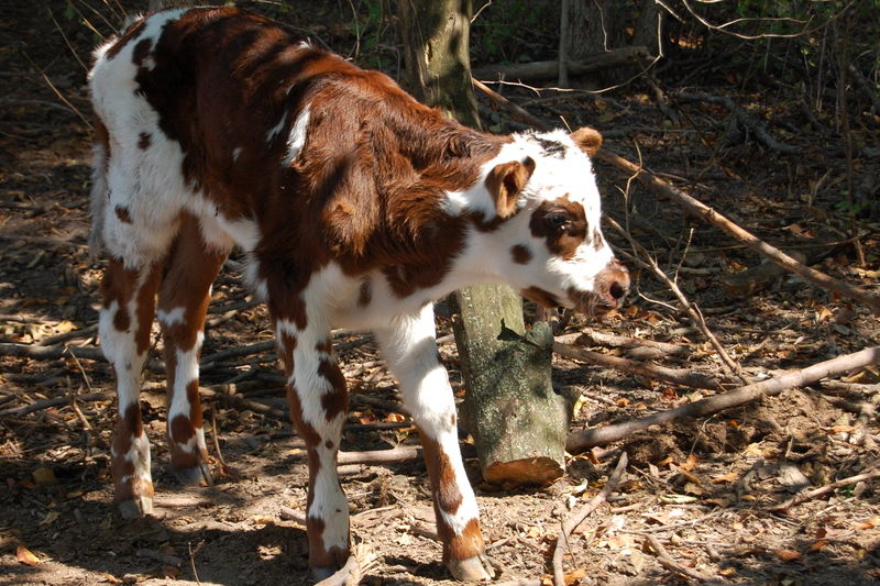 NEWBORNNORMANDYCALF